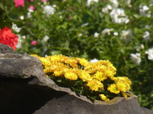 Blume, Decin, Tschechien