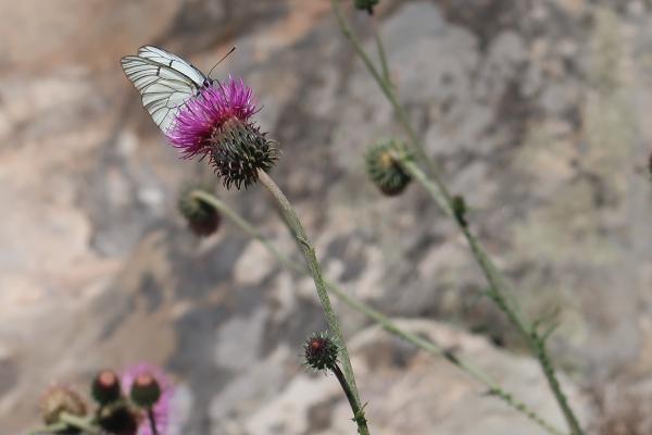 Blume, Columbieres-sur-Orb, Frankreich, Herault, Okzitanien