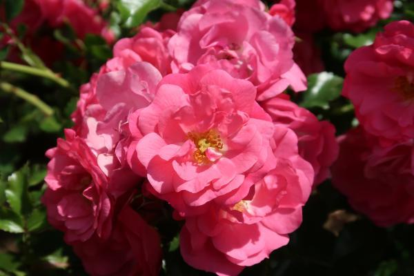 Blume, Frankreich, Herault, Okzitanien, Passa Pais
