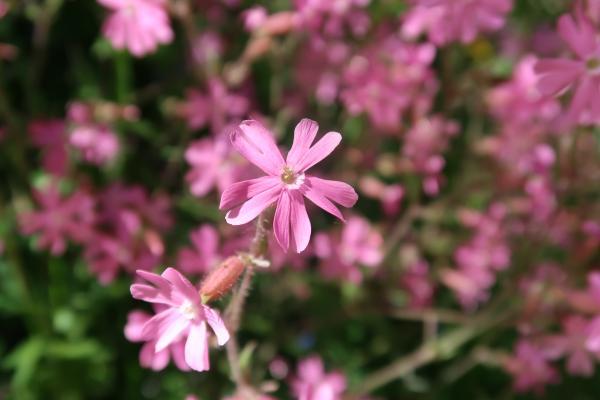 Blume, Frankreich, Okzitanien, Pyrenäen