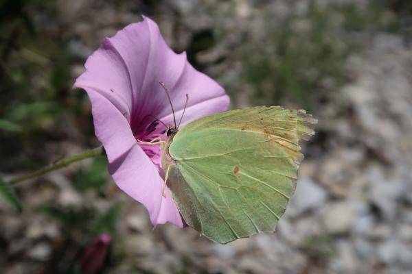 Italien, Ligurien, Schmetterling