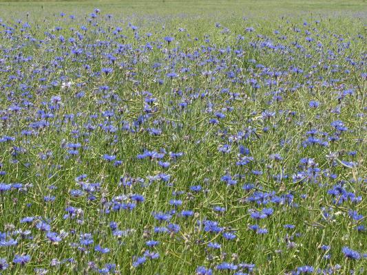 Blumen, fahrradtour, Kornblume, Oberlausitz, Pflanzen, Rabitz-Rosenthal