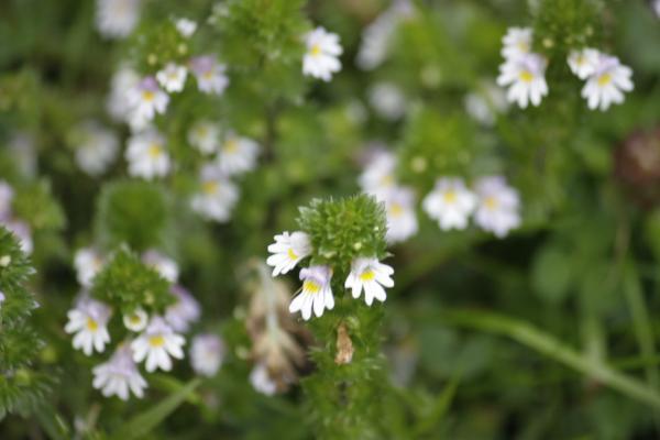 Alpen, Blumen, Hohe Tauern, Schobergruppe, Urlaub, Wangenitztal, weiß, Österreich