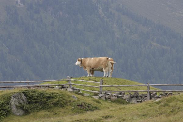 Alpen, Ansichtskarte, Hohe Tauern, Kuh, Urlaub, verwendet in, Österreich