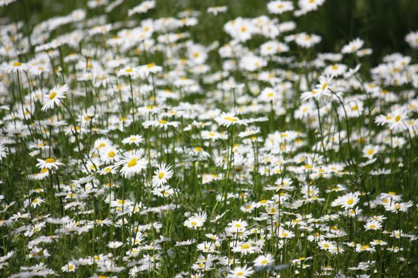 Blumen, Burgenland, fahrradtour, Jahnatal, Magerite, Sachsen