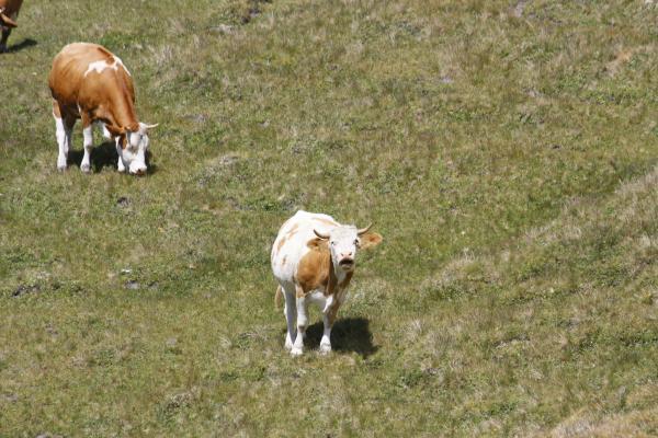 Alpen, Glocknergebiet, Kuh, Mohar, Wandern