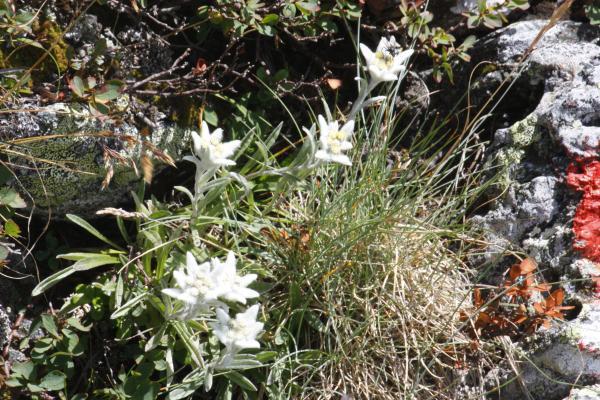 Alpen, Blumen, Edelweiß, Hochtristen, Kreuzeckgruppe, Österreich