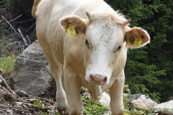 Alpen, Kuh, Laitenkopf, Marterle, Mölltal, Zellinkopf, Österreich