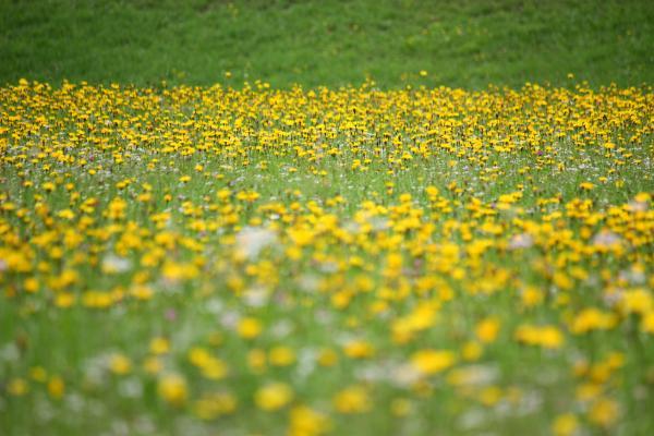 Alpen, Blumen, gelb, Hohe Tauern, Mitten und Umgebung, Mölltal, Österreich