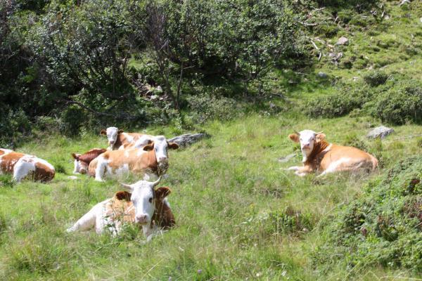 Alpen, Kalb, Kreuzeckgruppe, Kuh, Mernikalm, Mölltal, Mösernhütte, Roßeben, Salzkofelhütte, Österreich