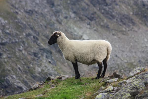Alpen, Hohe Tauern, Mölltal, Schaf, Schafe, Stall, Thörlkopf, Trögertörl, Törlkopf, Österreich