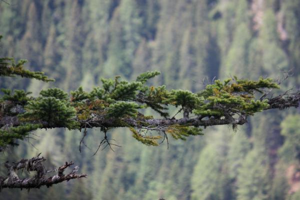 Alpen, Baum, Bäume, Kolmsteig, Lavanter Kolben, Lienzer Dolomiten, Pflanzen, Österreich