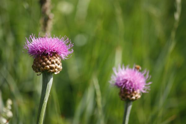 Blumen, Champagny-le-Haute, Frankreich, Pointe Veliere, rosa, Vanoise