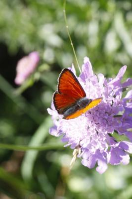 Bramans, Frankreich, Haute-Savoie, Schmetterling, Vanoise