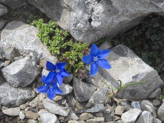 Blumen, Hochstadel, Lienzer Dolomiten