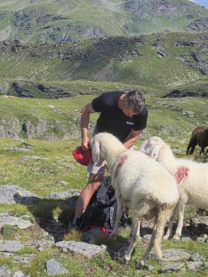 Dachskofel, Schaf