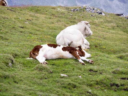 Alpen, Kalb, Kuh, Mitten und Umgebung, Mohar, Österreich