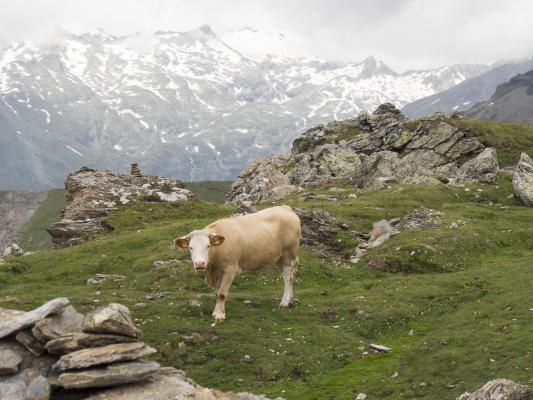 Alpen, Kuh, Mitten und Umgebung, Mohar, Österreich
