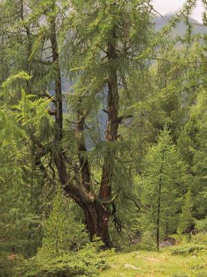 Baum, Mitten und Umgebung, Stanziwurten, Österreich