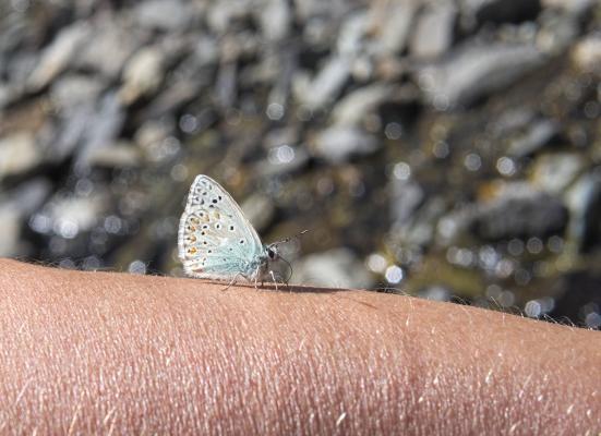 Clarèe, Frankreich, Hautes-Alpes, Schmetterling