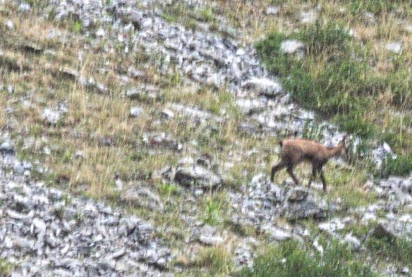 Frankreich, Gämse, Hautes-Alpes, Valgaudemar