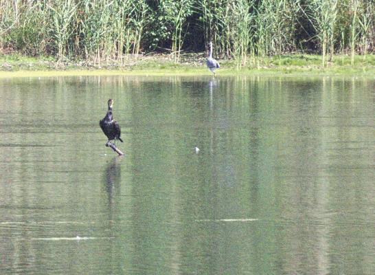 Teich, Tiere, Vogel