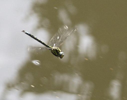 Ameisen, Libelle, Polenztal, Tiere