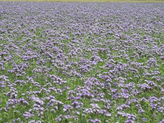 Blumen, Distel