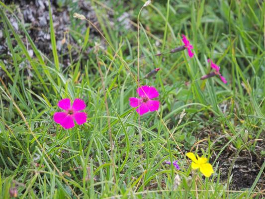 Alpen, Asten, Blumen, Mitten und Umgebung, Pflanzen, Pink, Österreich