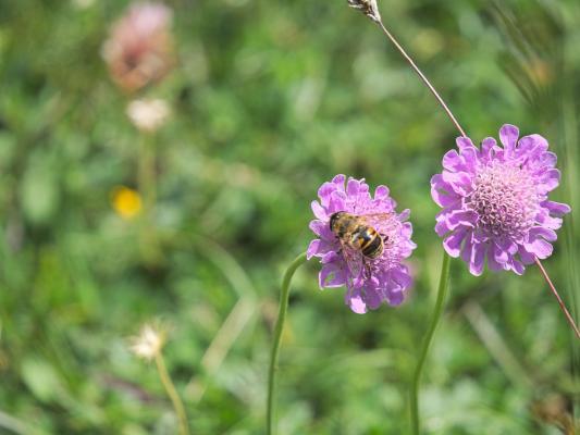 Alpen, Asten, Biene, Blumen, Insekten, lila, Mitten und Umgebung, Pflanzen, Österreich