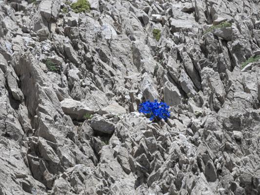 Alpen, blau, Blumen, Hochstadel, Lienzer Dolomiten, Mitten und Umgebung, Pflanzen, Österreich