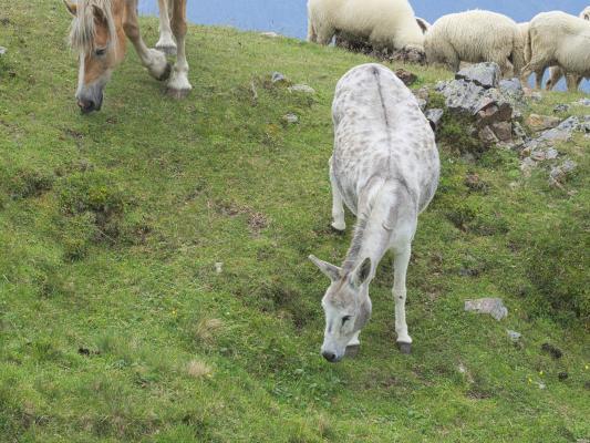 Alpen, Anna Schutzhaus Ederplan, Loneskopf, Mitten und Umgebung, Pferd, Österreich