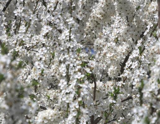 Blüte, Saale Unstrut, weiß
