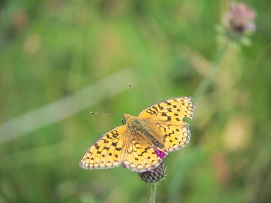 Alpen, Auvergne-Rhône-Alpes, Blumen, Frankreich, La Berarde, Schmetterling, Venosc