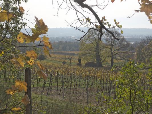Radebeul, Wein, Weinberg