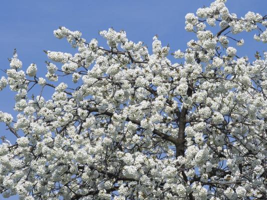 Blüte, Frühling, Löbau, Oberlausitz