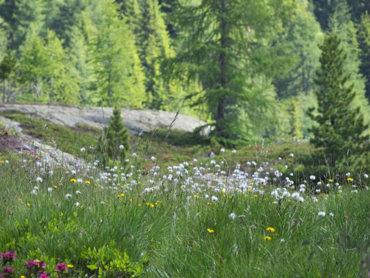 Alpen, Blumen, Kreuzeckgruppe, Mitten und Umgebung, Staller Wölla, Österreich