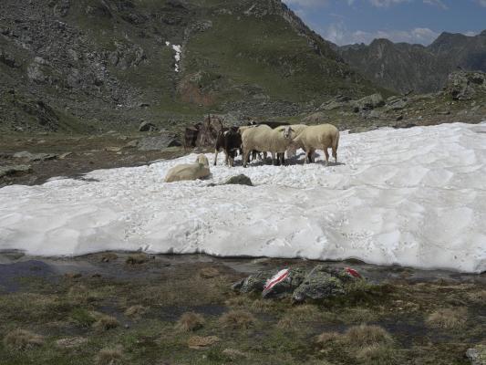 Alpen, Kreuzeckgruppe, Mitten und Umgebung, Schaf, Österreich