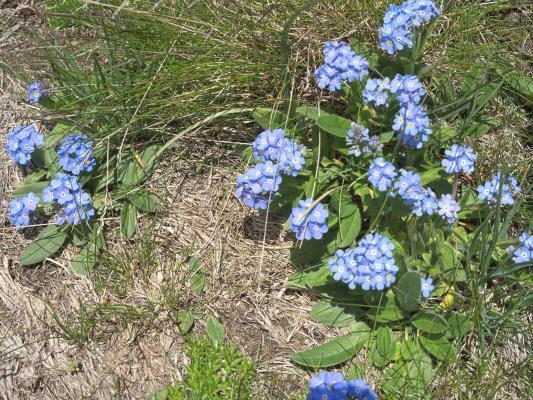 Alpen, Blumen, Kreuzeck, Kreuzeckgruppe, Mitten und Umgebung, Österreich