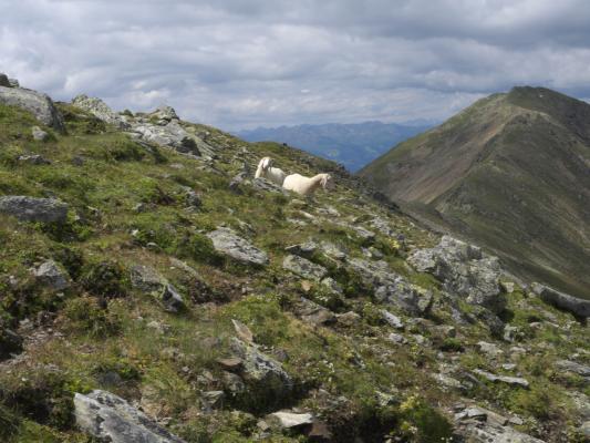 Drautal, Mitten und Umgebung, Schaf, Österreich