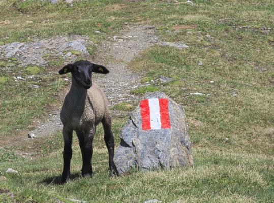 Hohe Tauern, Lamm, Mohar, Schaf, Österreich