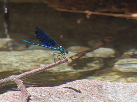 blau, Frankreich, Gebirgsbach, Korsika, Libelle, Wasser