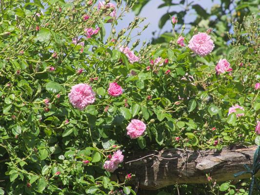 Dahme, Garten, Rose, Saxdorf Pfarrgarten